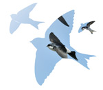 Donate to the House Martin Appeal