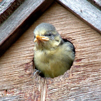 Blue tit in a nestbox. Photograph by Christine Matthews.