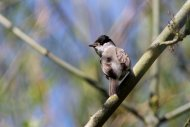 Blackcap by Adrian Dancy